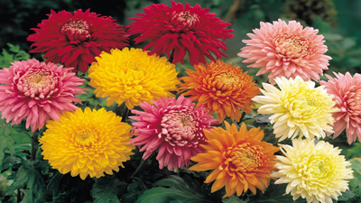 A variety of chrysanthemums colors.