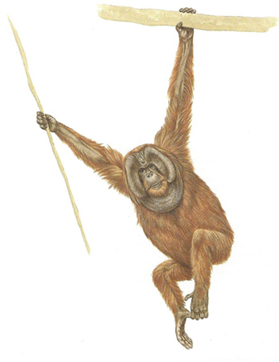 A Orangutan illustrating having both hands and feet as hands.