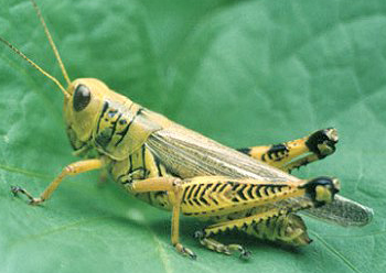 Example of an acridograsshopper.