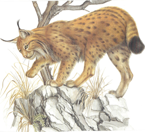 A wildcat and plants that exist on rocky areas.