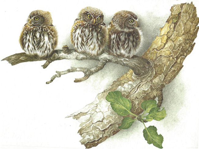 Three young owls on a tree branch.