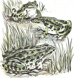 Frogs in a pond.