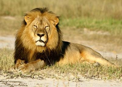 A beautiful lion.