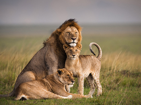 A male lion with two young ones.