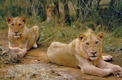 Lionesses resting.
