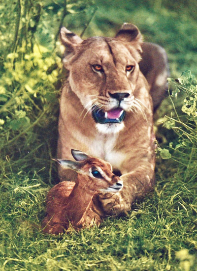 A lioness with a little antelope.