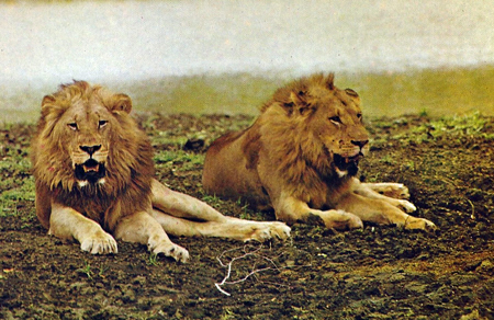 Two lions relaxing.