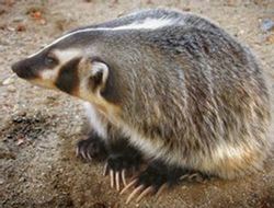 An American badger showing its sharp claws.