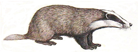 A Eurasian badger.