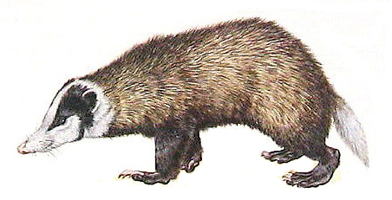 A hog badger.