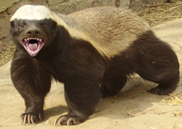 Honey badger showing its sharp claws.