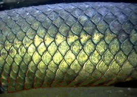 Example of imbricating fish scales.