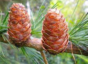 Example of imbricative pine cones.