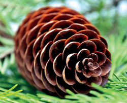 Example of imbricatively shaped pine cone.