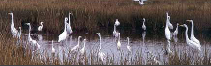 Some birds in a marsh.