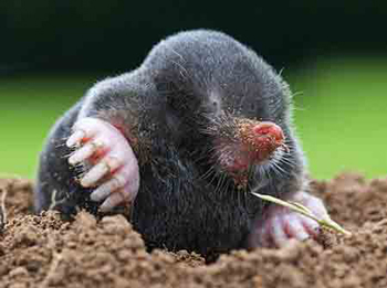Cape Golden Mole, a common species in parts of South Africa.