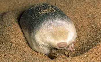 Grants Golden Mole, habitat is in sand.
