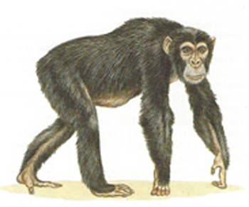 A monkey that is using both hands and feet as hands.