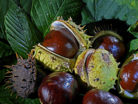 Chestnuts from a tree.