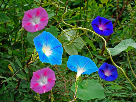 Flowers known as Morning Glories.