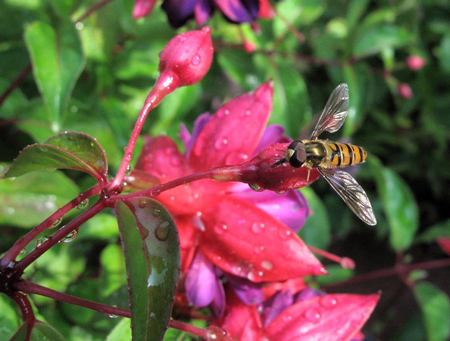 Hoverfly gets nectar from flowers.