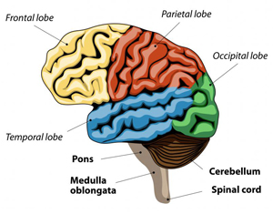 Image of brain.